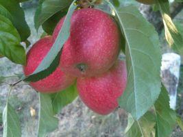 Vápnik vo výžive ovocných drevín