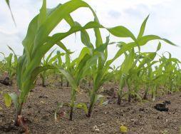 Chcete mať vysokú úrodu kukurice?
