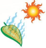 Pomôžte obmedziť odparovanie vody z listov cukrovej repy.