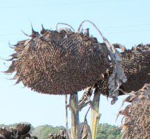 Chcete si zabezpečiť kvalitnú úrodu slnečnice?